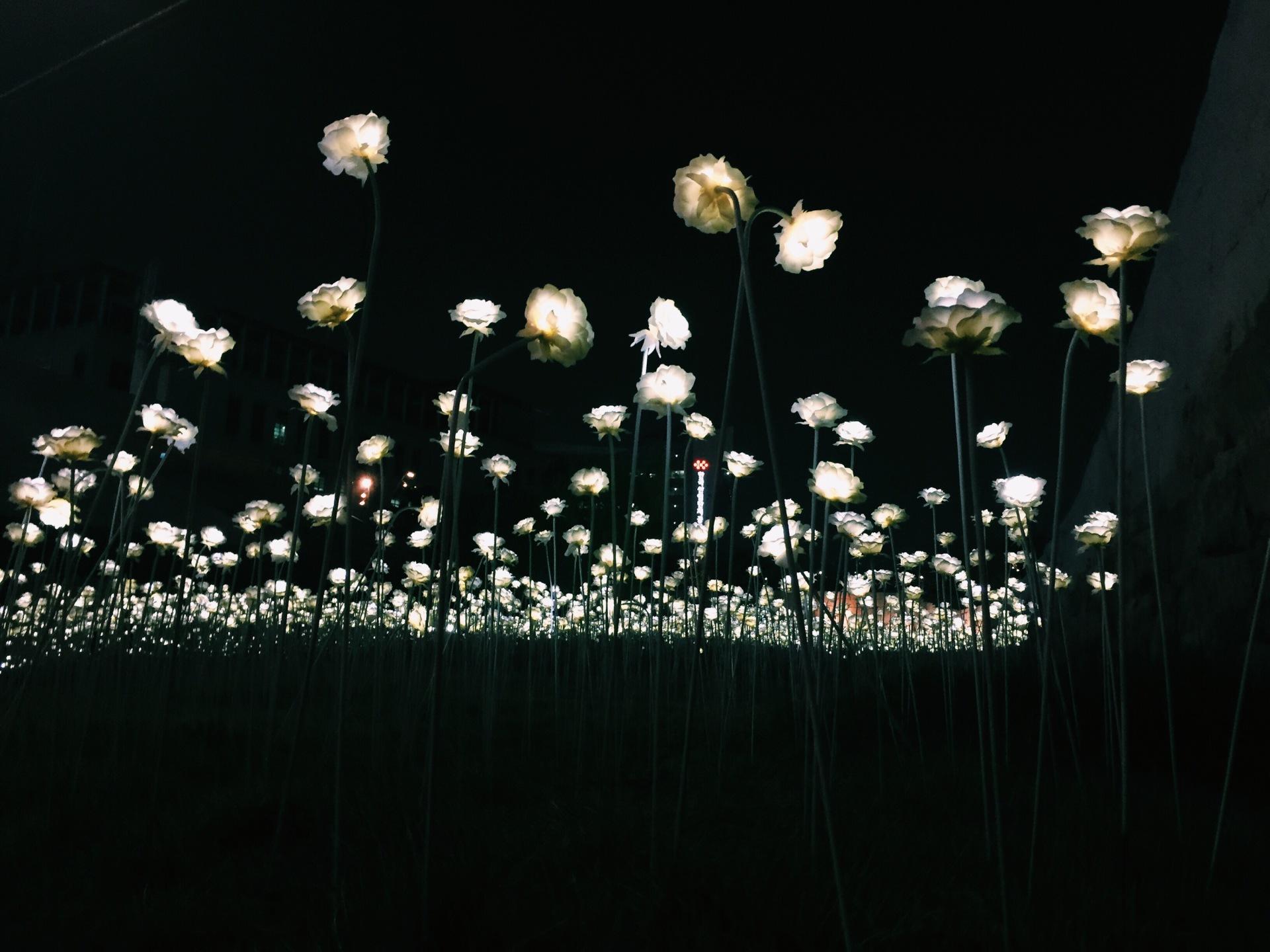 Seoul Led Roses DPP